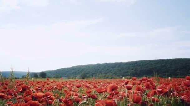 Makové pole. Západ slunce v poli. Sunrise opiová pole. Červený mák květiny. Červené květy na louce. Pole máku červený květ