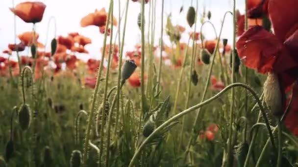 Poppy field. Sunset in the field. Sunrise opium field. Red poppy flowers. Red flowers in the meadow. Field of red poppy flower.