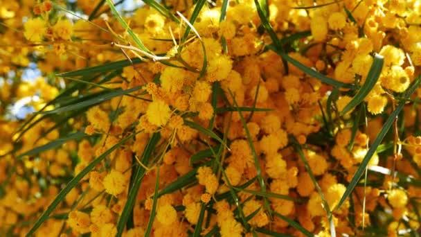Zblízka střílel pom-pom jako Golden proutí květy na jaře; pocházející z lesů Středozemního