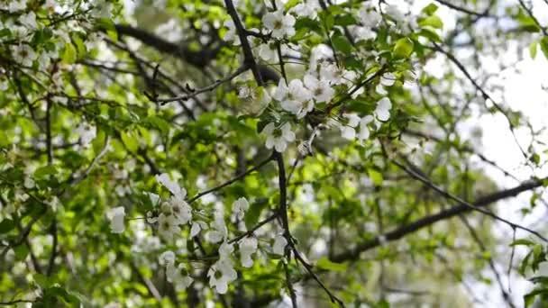 Egy kupica szilva virágok a tavasz, Mediterrenean erdők közelről.