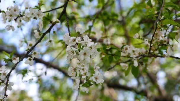 Zblízka střílel Švestkové květy na jaře, od Středozemního lesů.