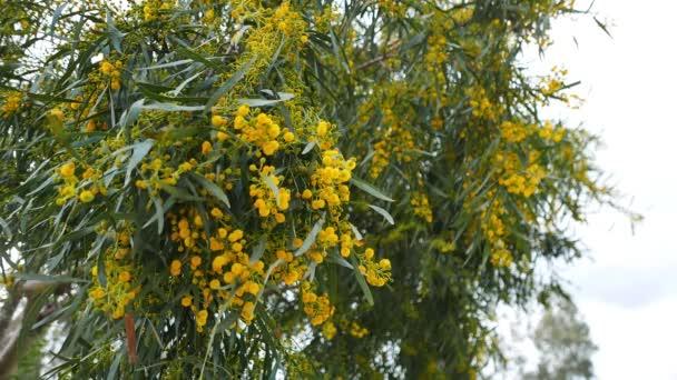 Panák pom-pom jako Golden proutí květy na jaře; přichází ze Středozemního lesů. Včely lze považovat za shromažďování pyl z květů