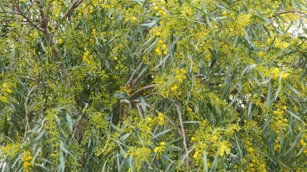 Panák pom-pom jako Golden proutí květy na jaře; pocházející z lesů Středozemního