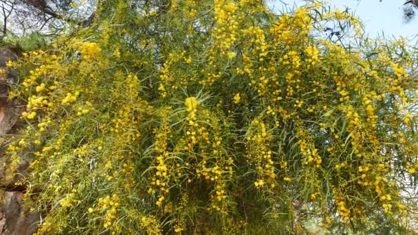 A shot of pom-pom like Golden Wattle blossoms in the spring; coming from Mediterrenean forests.