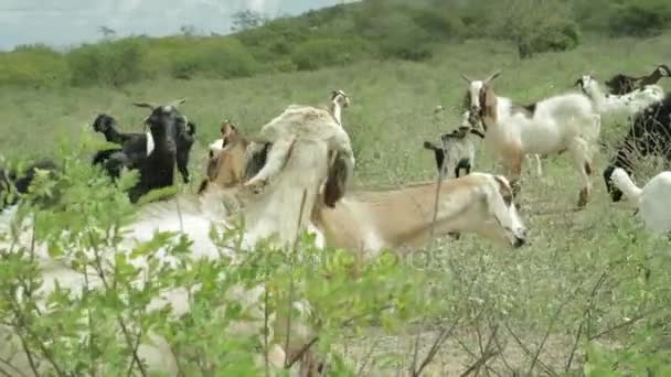 Pohled na stádo koz - Brazílie