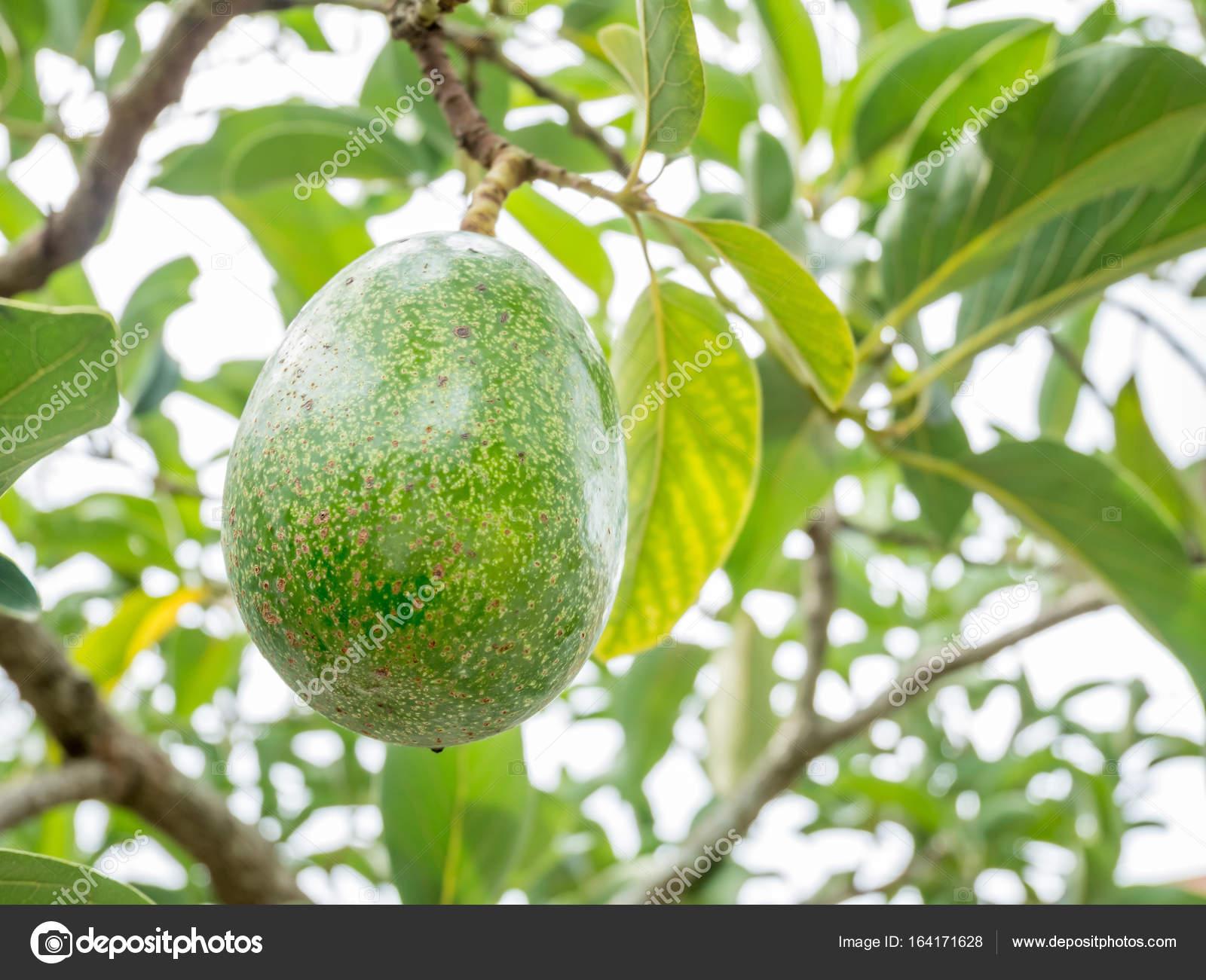 avocat de gros plan sur l'arbre — photographie jpkirakun © #164171628