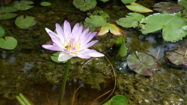 růžový Lotosový květ plovoucí na vodě