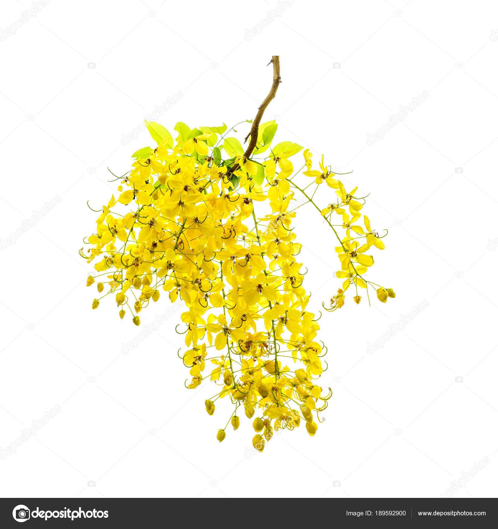Yellow flowers of golden shower tree in summer stock photo yellow flowers of golden shower tree in summer stock photo mightylinksfo