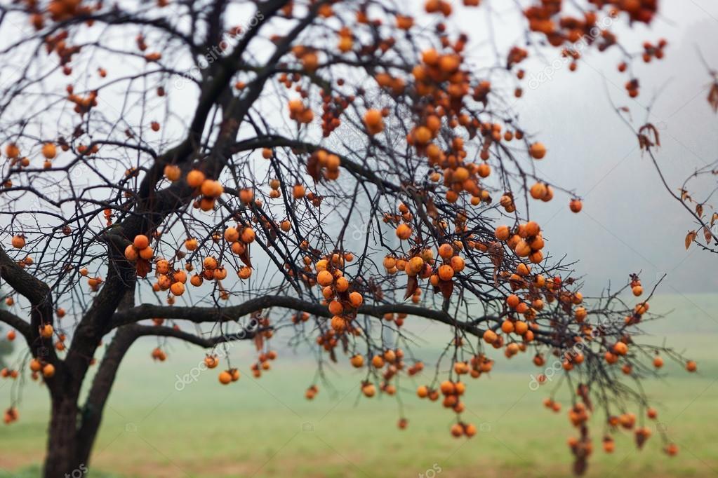 Beautiful persimmon tree
