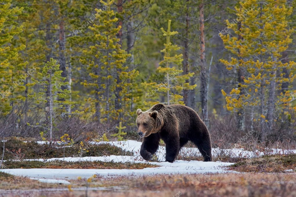 https://st3.depositphotos.com/3588977/12669/i/950/depositphotos_126690558-stock-photo-brown-bear-in-the-taiga.jpg