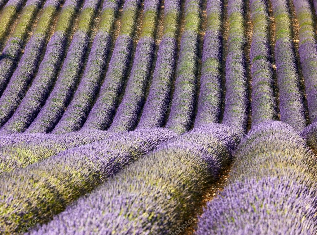 lavender field in Provence, with intentional blur on the foregro
