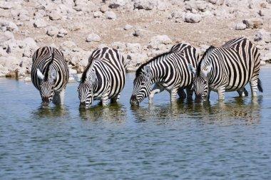 Zebras drinking at a waterhole