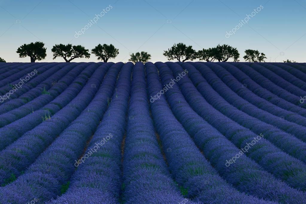 Field of flowering lavender
