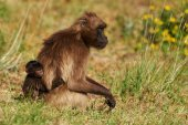 Gelada baboon and cub