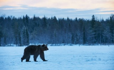 Beautiful brown bear walking in the snow in winter. Photographed at sunset in Finland. stock vector