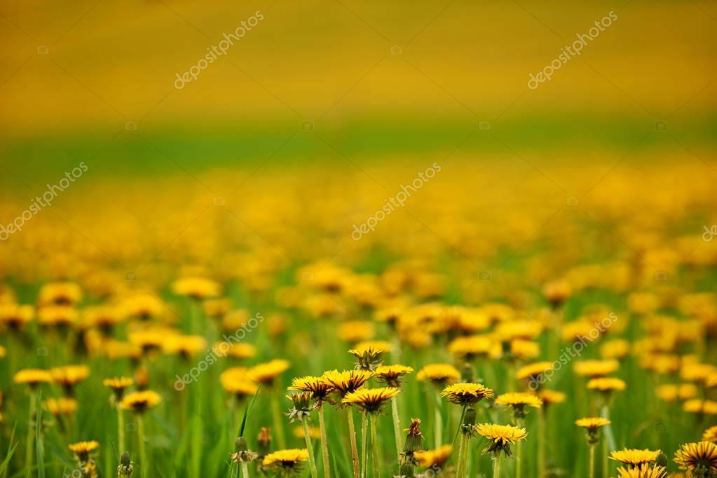 Intentionally blurred field of dandelions