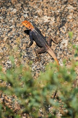 Male agama on a rock