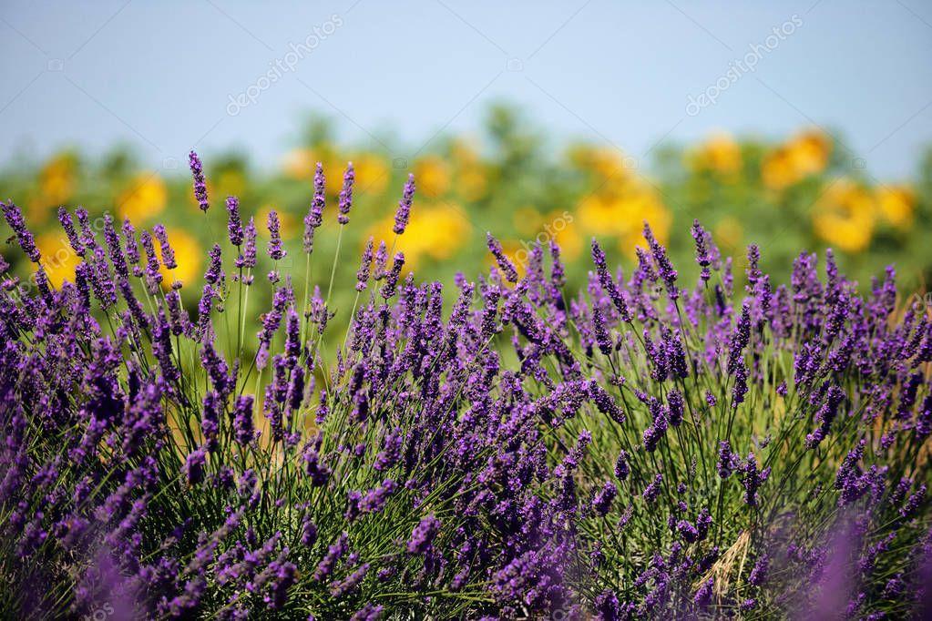 Lavender flower in Provence