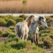 stock-photo-two-white-horses-of-camargue