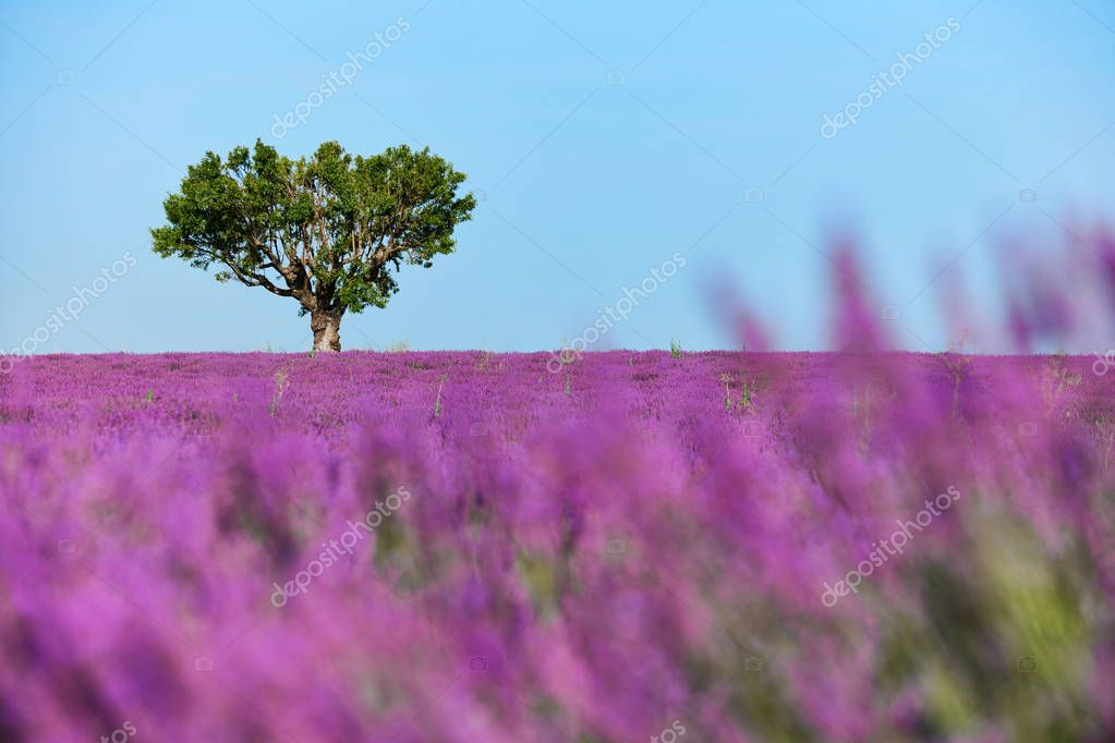 Tree surrounded by lavender