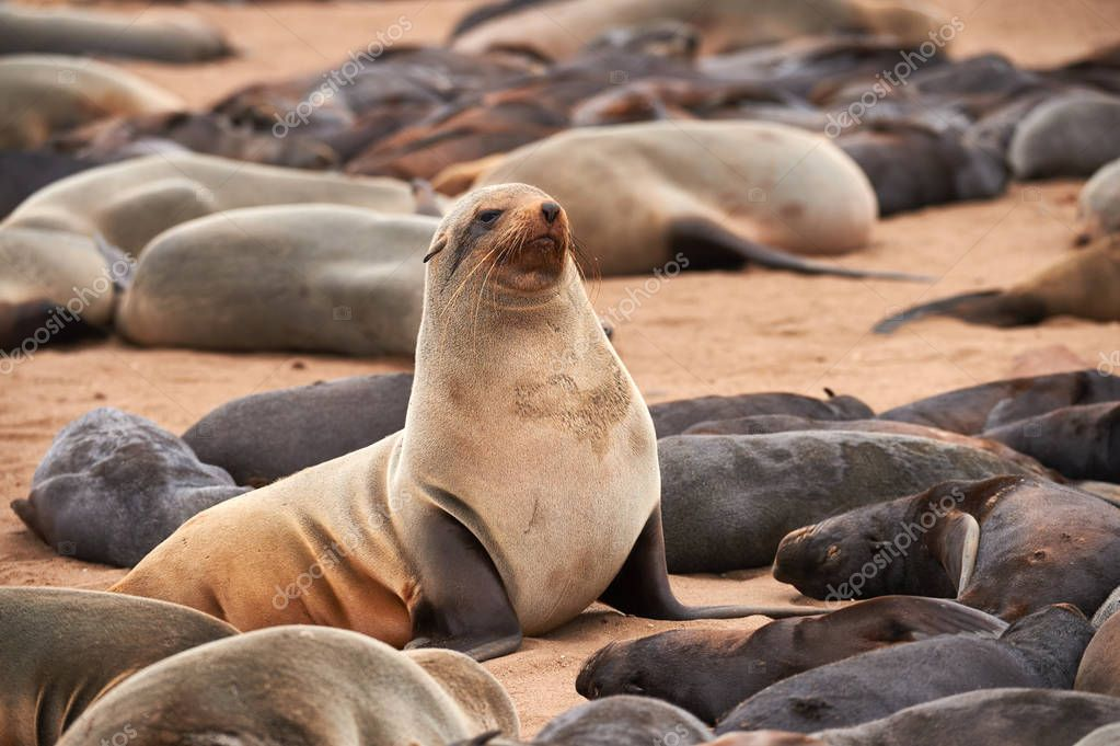 Colony of fur seals in Namibia