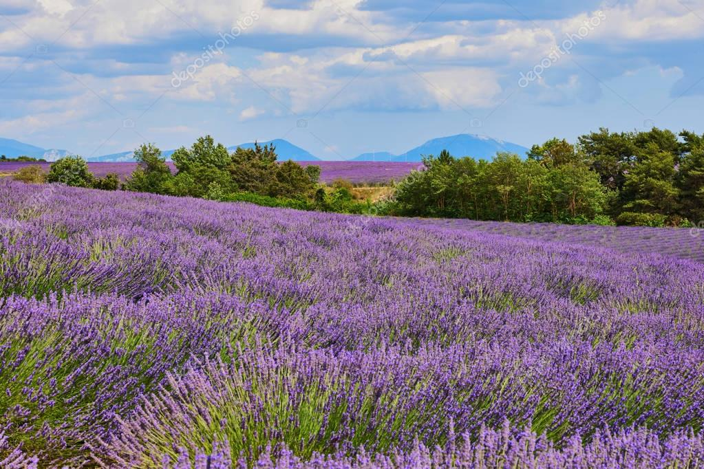 Landscape of Provence with lavender
