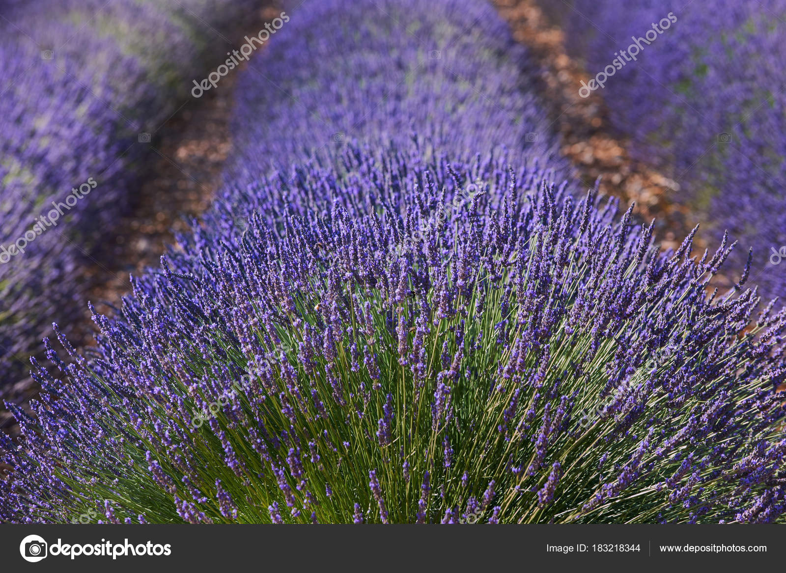 Beautiful lavender flowers stock photo luaar 183218344 beautiful lavender flowers stock photo izmirmasajfo