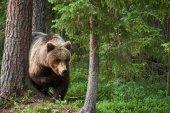 Erdőben vadon élő barnamedve (Ursus arctos)