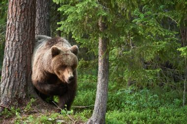 Wild brown bear (Ursus arctos) in the forest