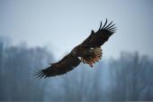 Fotografie Großer und majestätischer Seeadler (Haliaeetus albicilla) nähert sich im Flug.