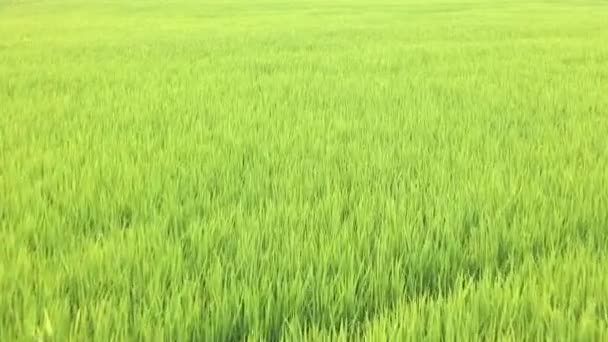 Young rice in rice field  in Thailand, High quality footage