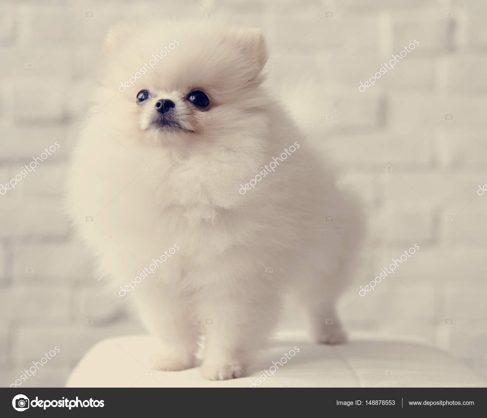 White Fluffy Dog Stock Photo C Rawpixel 148878553