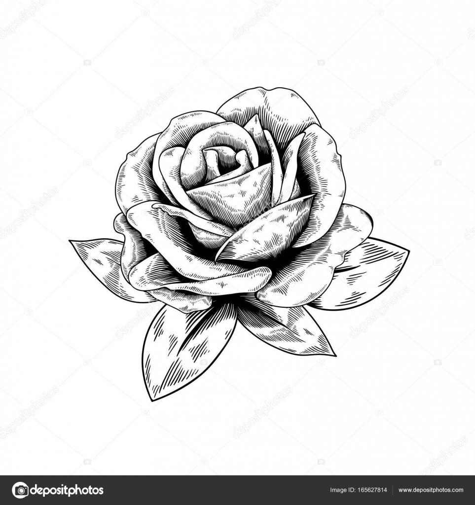 desenho de contorno do botão de rosa vetores de stock rawpixel