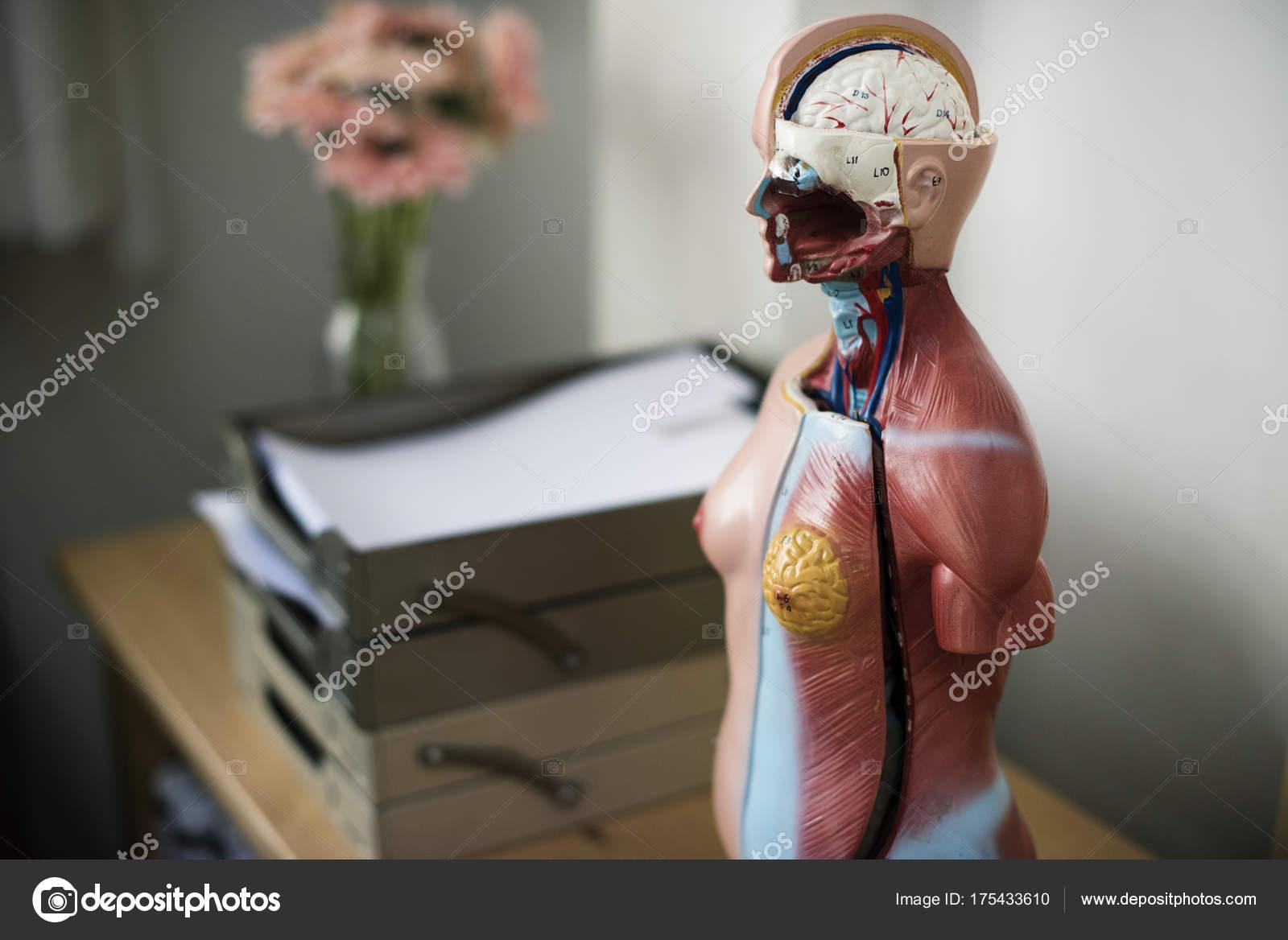 Menschliche Anatomie Modell Original Fotoset — Stockfoto © Rawpixel ...