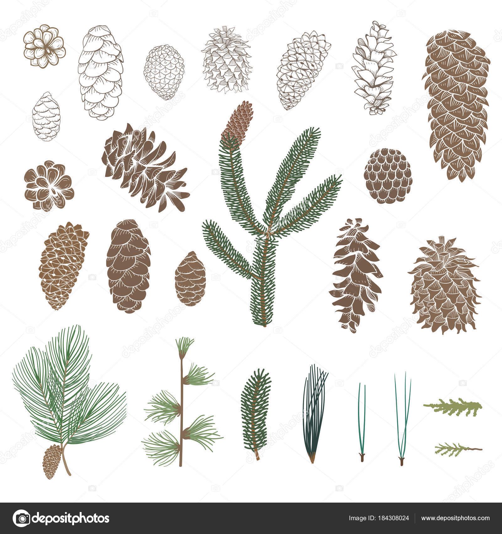 Fotos tipos de pinos ilustraci n dise o conos tipos for Tipos de pinos para jardin fotos