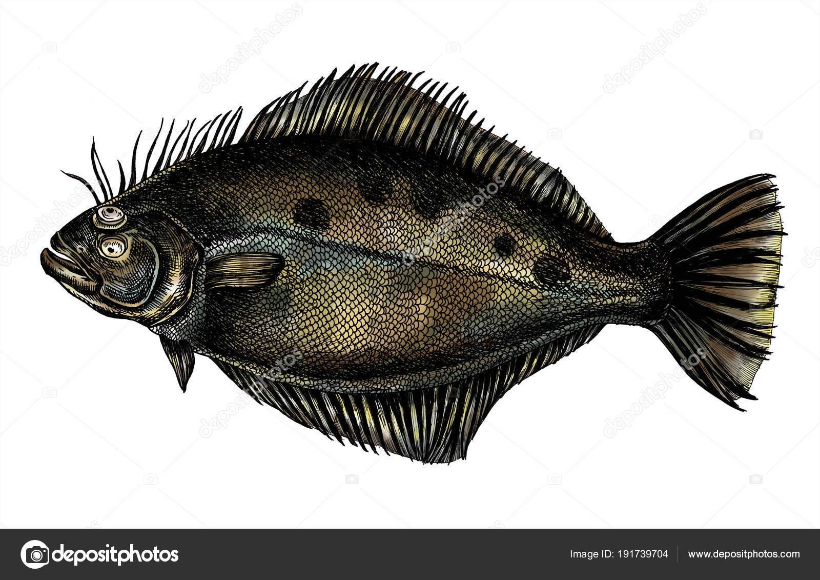 Pesce Piatto Rombo Disegnato Mano Foto Stock Rawpixel 191739704