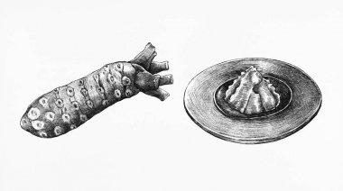 Hand drawn wasabi Japanese horseradish