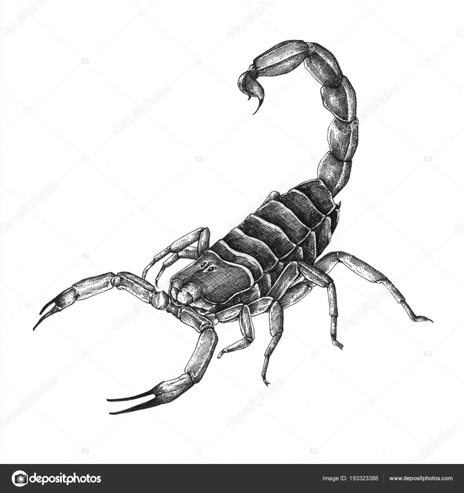 Dibujos Escorpiones A Lapiz Escorpión Dibujado Mano Aislada Sobre