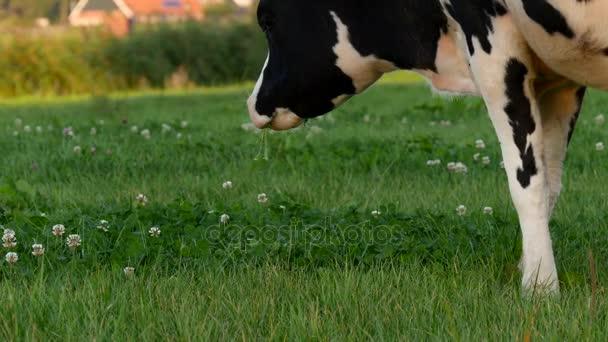 Detailní záběr části kráva stravování jetel