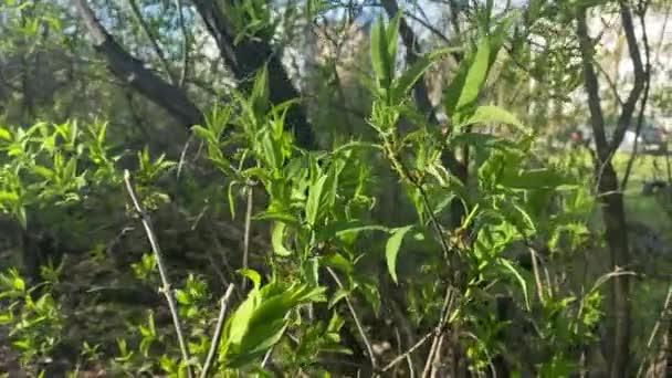 keř s mladými zelenými listy ve větru. v pozadí dům a auto