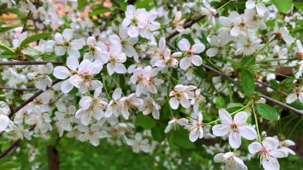flowering branches of cherry sway in a light spring wind