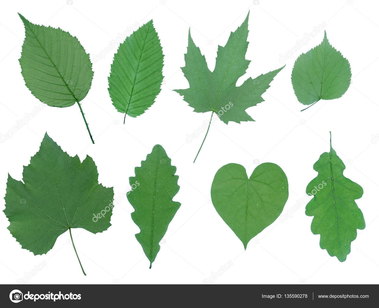 Hojas aisladas sobre fondo blanco deje la colecci n set for Aspiradora de hojas de jardin