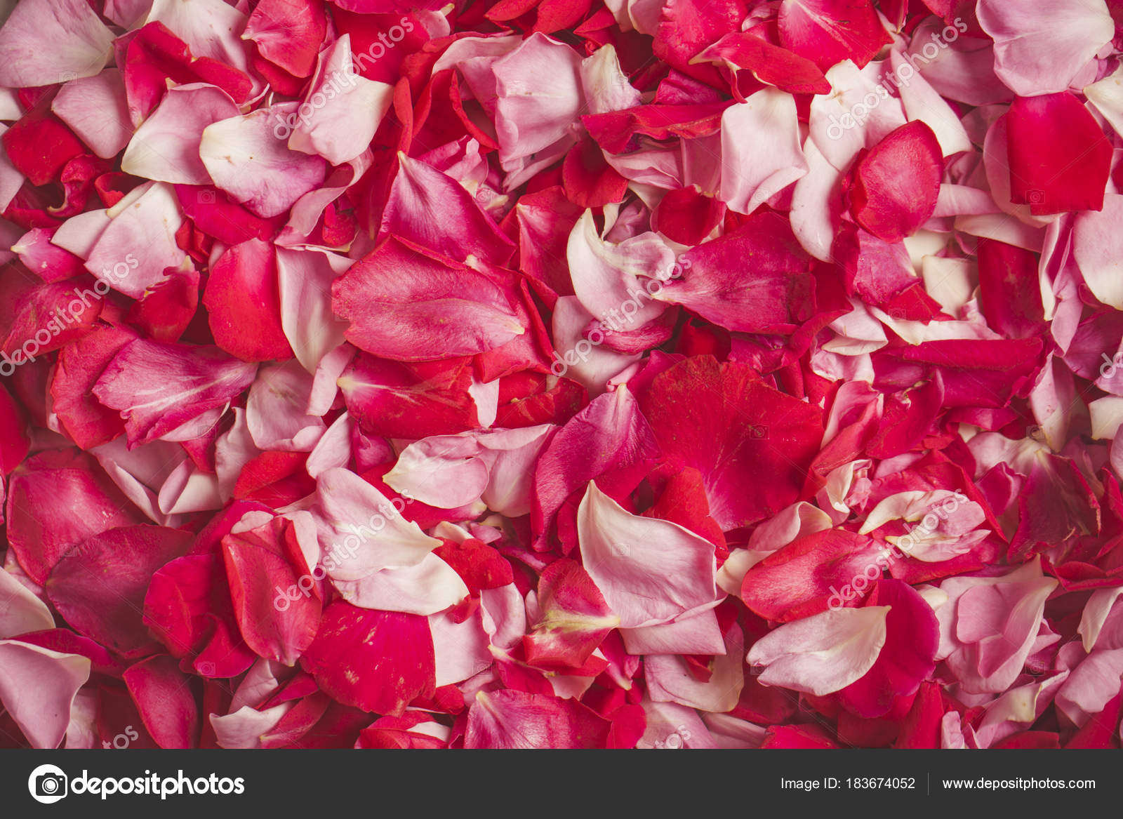 Love Rose Petals Concept Of Valentine Day Wedding Day Sweet Love
