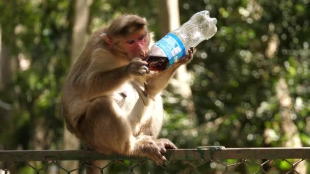 Obyčejná makaque opice pije sodovku z plastové láhve s domácím mazlíčkem sedící na plotě
