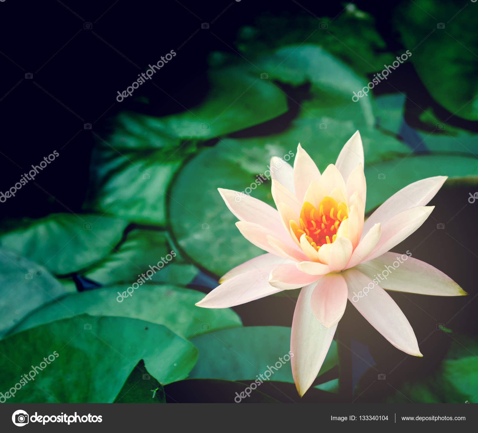 Beautiful Lotus Flower Is Complimented By The Rich Colors Of The