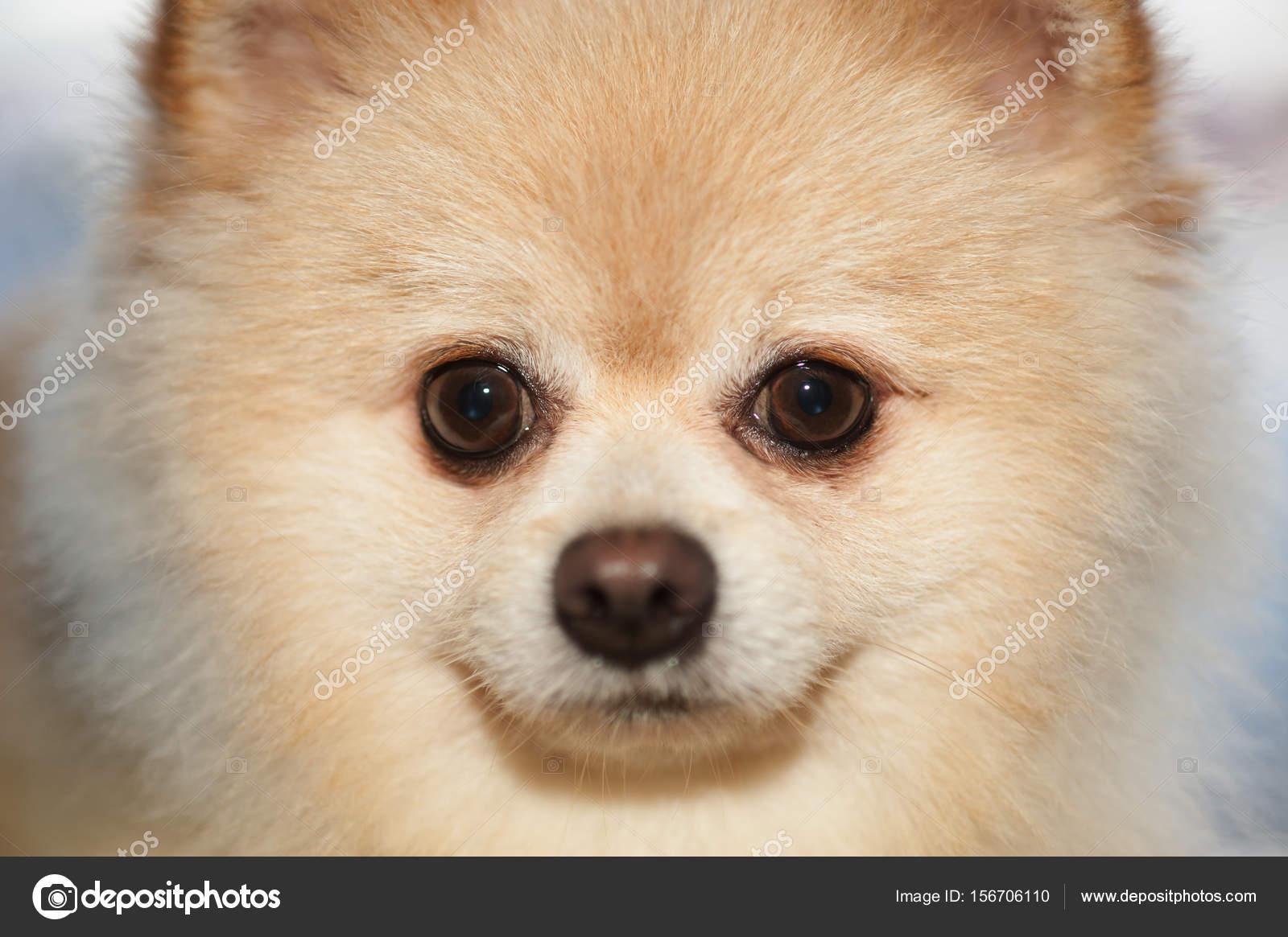 Best Pom Canine Adorable Dog - depositphotos_156706110-stock-photo-fluffy-pom-pomeranian-cute-dog  Collection_748740  .jpg