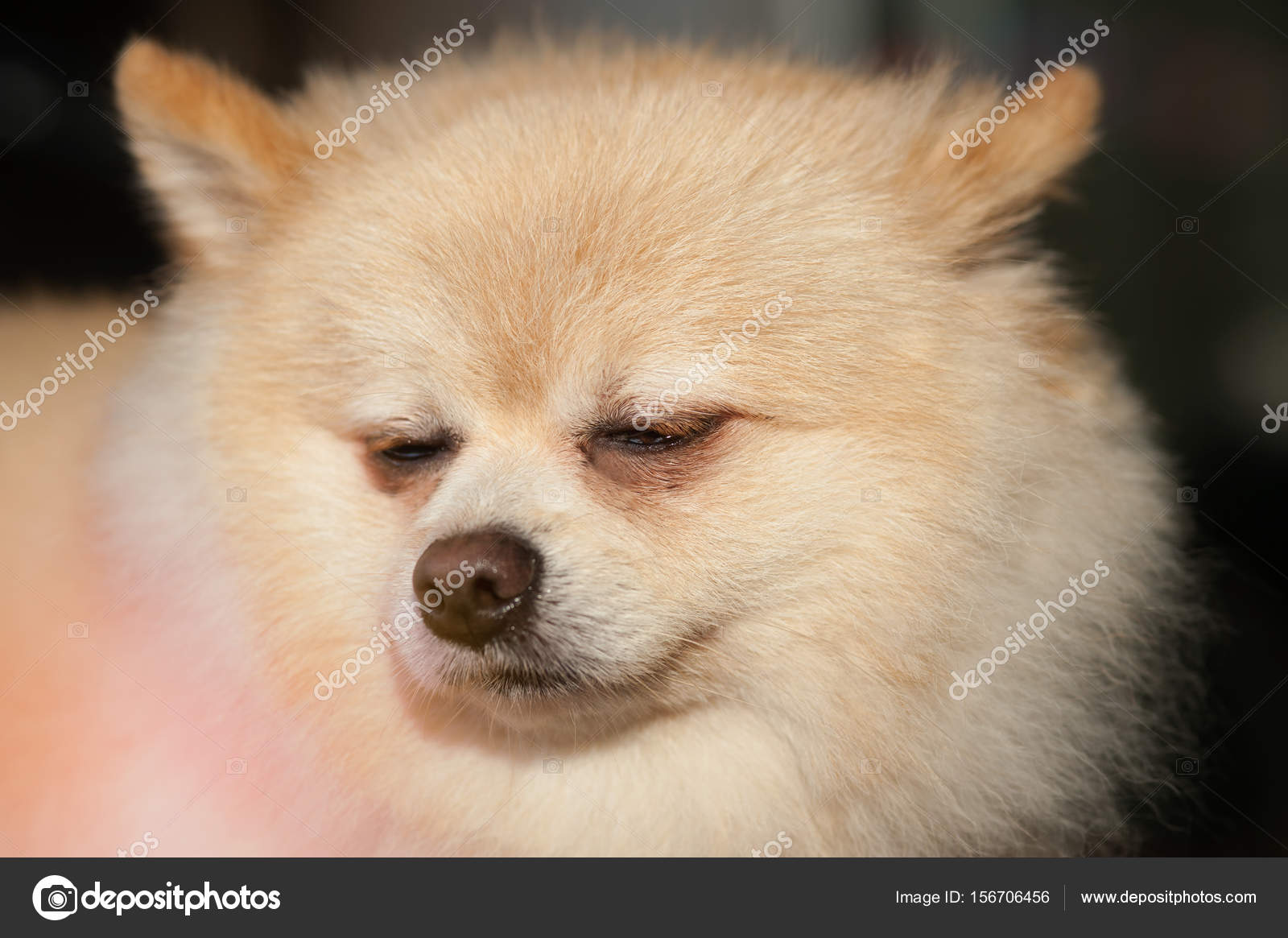 Best Pom Canine Adorable Dog - depositphotos_156706456-stock-photo-fluffy-pom-pomeranian-cute-dog  Collection_748740  .jpg