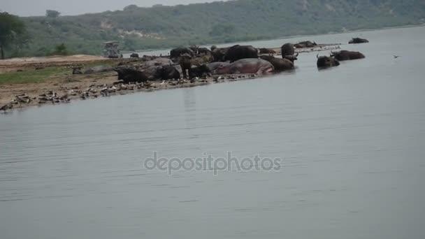 Hippos, cape buffalo and birds in Kazinga Channel, Queen Elizabeth National Park, Uganda