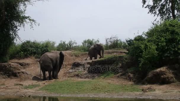 Elephants on banks of Kazinga Channel, Queen Elizabeth National Park, Uganda