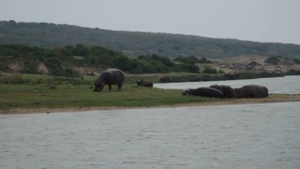 Hippo grazing on banks of Kazinga Channel, Queen Elizabeth National Park, Uganda